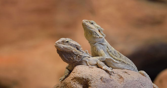 Bearded-Dragon-Lifespan