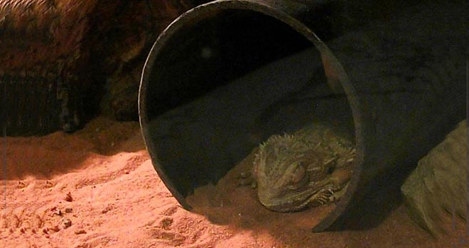 Bearded-Dragon-Brumation