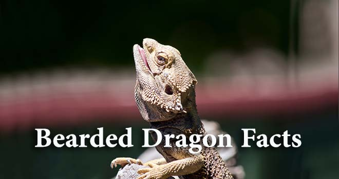 Bearded-Dragon-Facts