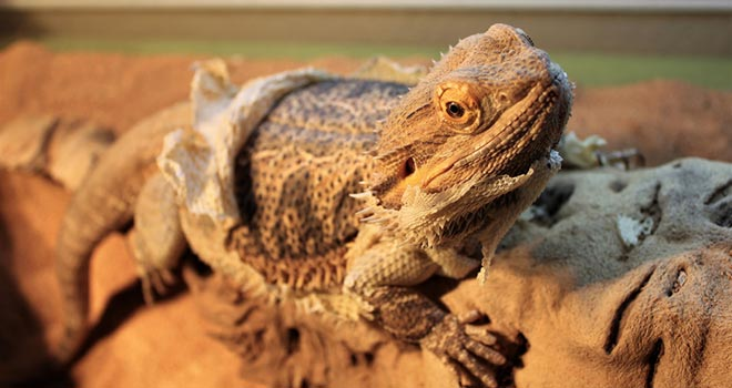 Bearded-Dragon-Shedding