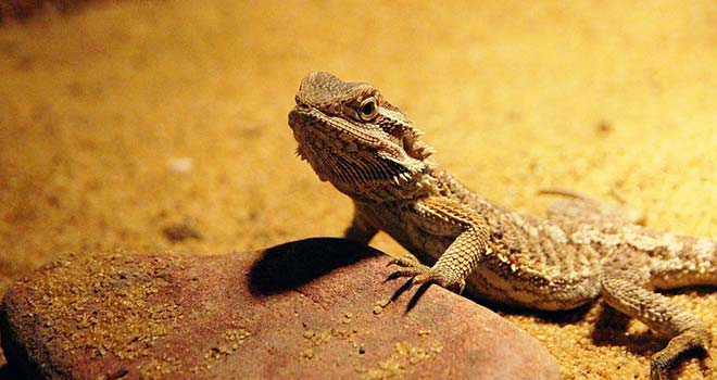 Are-Bearded-Dragons-Good-Pets