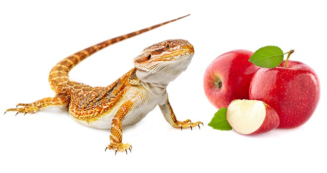Can-Bearded-Dragons-Eat-Apples