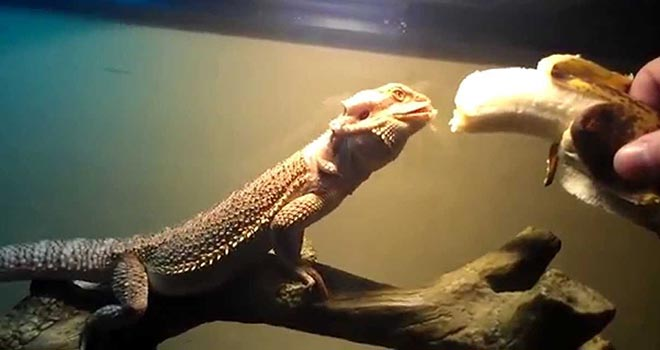 Can-Bearded-Dragons-Eat-Bananas