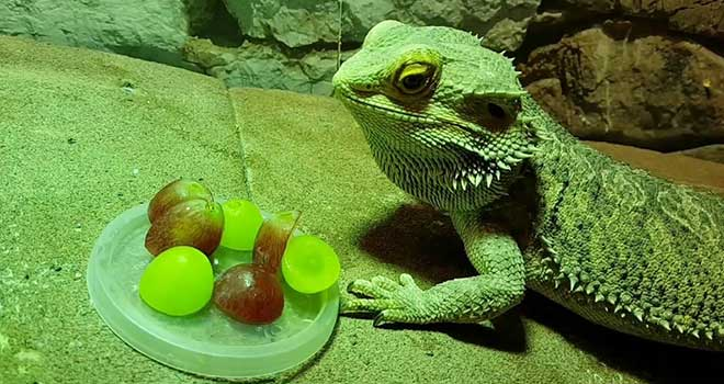 Can-Bearded-Dragons-Eat-Grapes