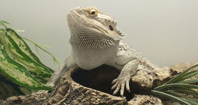 How-to-Maximize-Bearded-Dragon-Lifespan