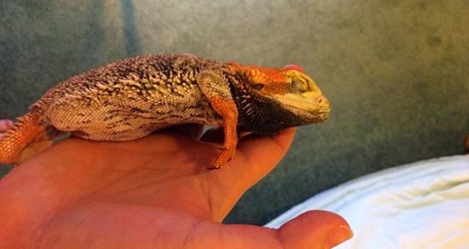 Bearded-Dragon-Respiratory-Infection