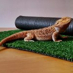 Bearded-Dragon-Substrate