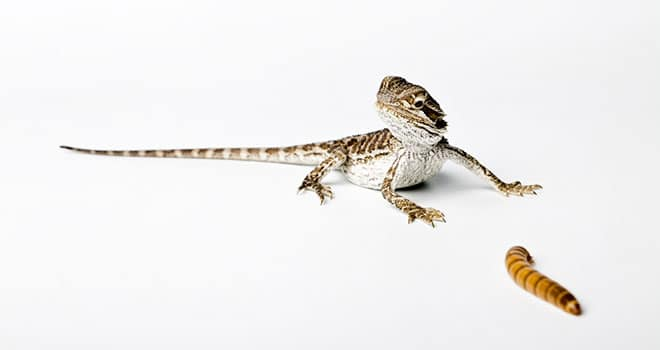 Baby-Bearded-Dragon-Diet