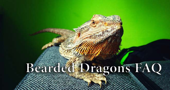 Bearded-Dragon-FAQ