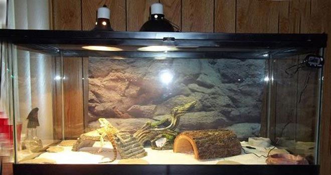 Bearded-Dragon-Lighting