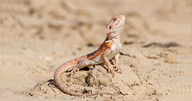 Bearded-Dragon-Behavior