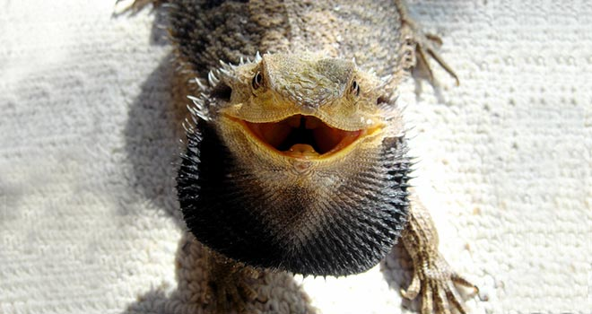 Bearded-Dragon-Biting