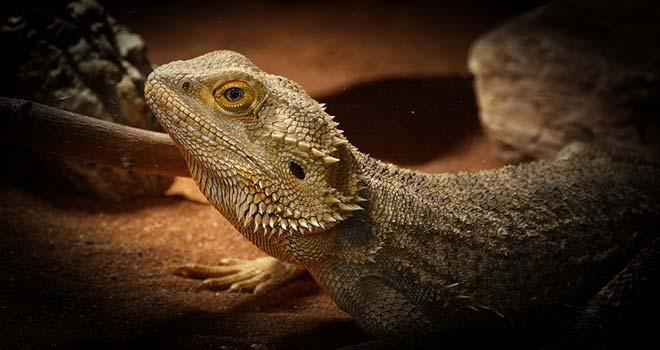 Bearded-Dragon-Care