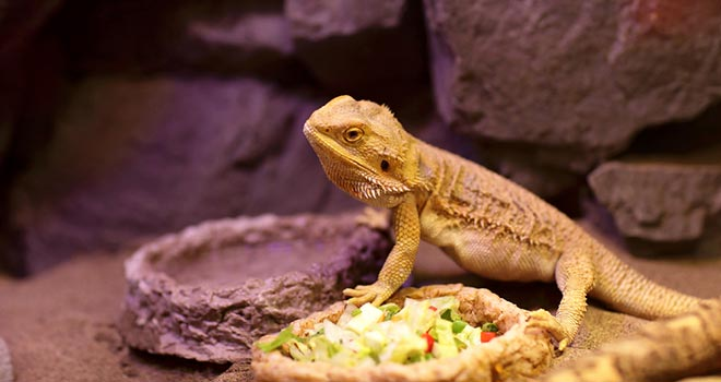 Bearded-Dragon-Not-Eating