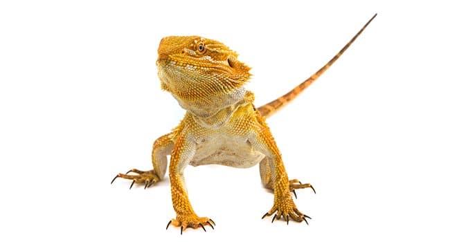 Bearded-Dragon-(Pogona-Vatticep)
