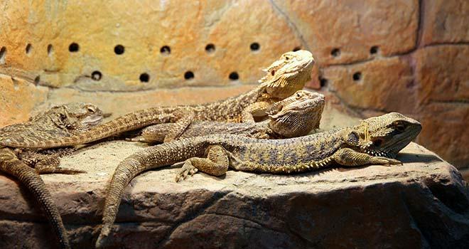 Breeding-Bearded-Dragons