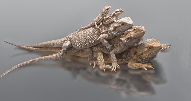 Different-Bearded-Dragon-Species