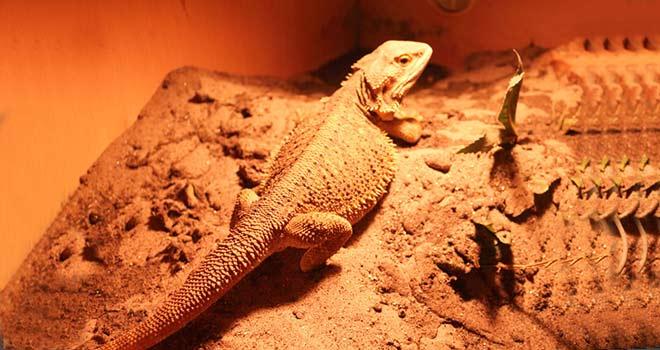 pregnant-bearded-dragon