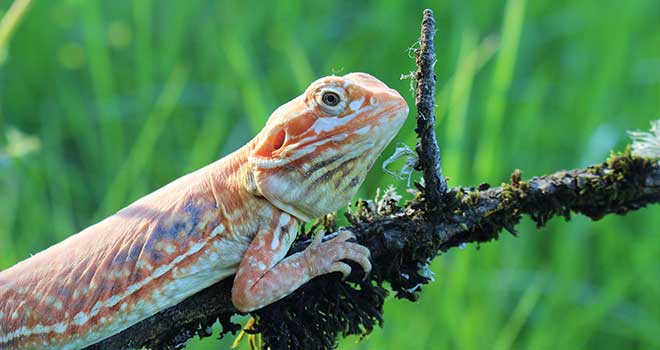 A-Healthy-Bearded-Dragon
