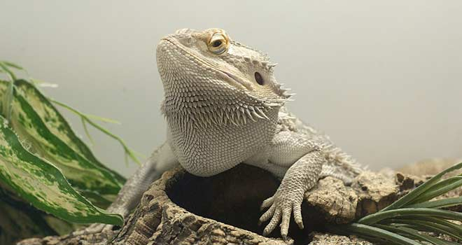 Bearded-Dragon-Diseases