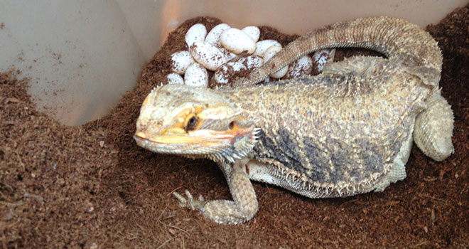 Bearded-Dragon-Laying-Eggs