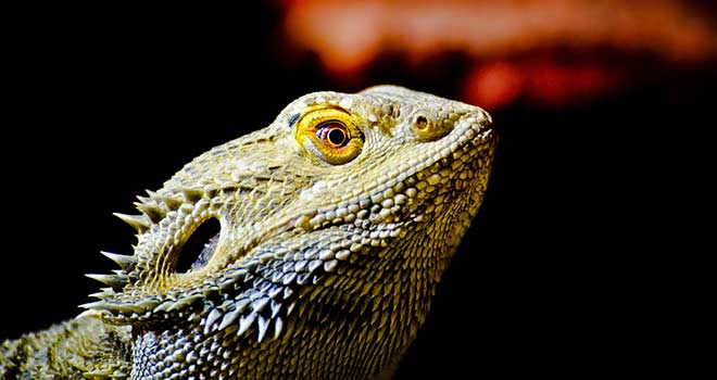 Bearded-Dragon-as-Pet