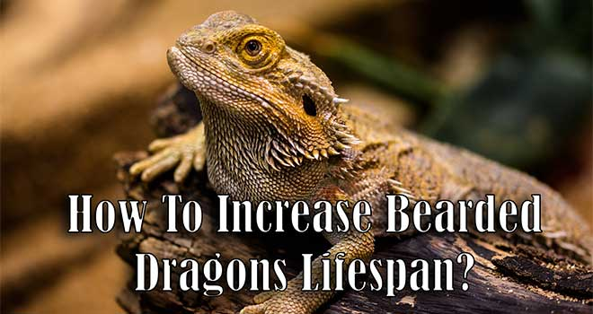 How-to-Increase-Bearded-Dragon-Lifespan