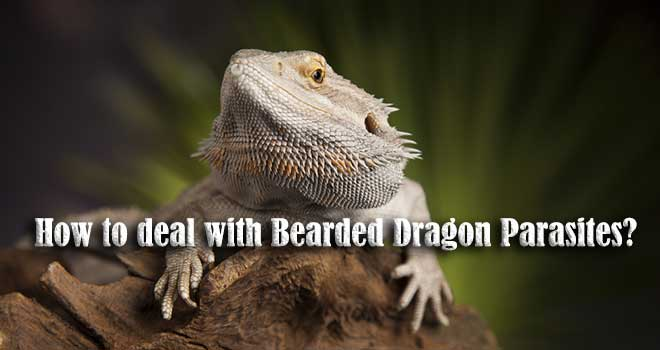 How-to-deal-with-Bearded-Dragon-Parasites