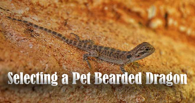 Selecting-Pet-Bearded-Dragon