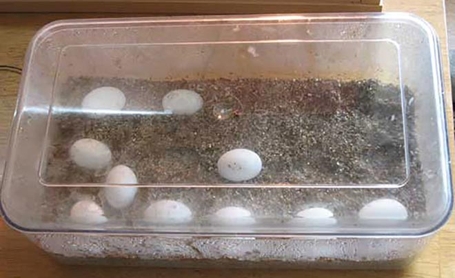 incubating-bearded-dragon-eggs