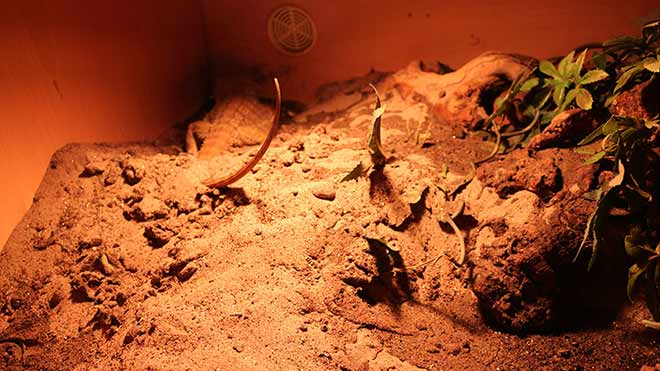 pregnant-bearded-dragon-constantly-digging