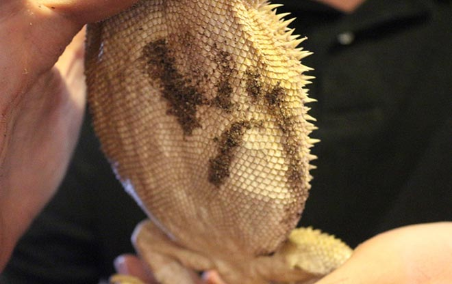 underbelly-of-pregnant-bearded-dragon