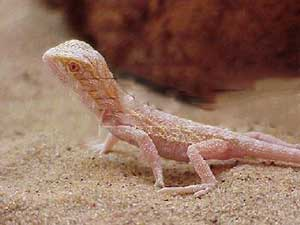 Albino-bearded-dragon
