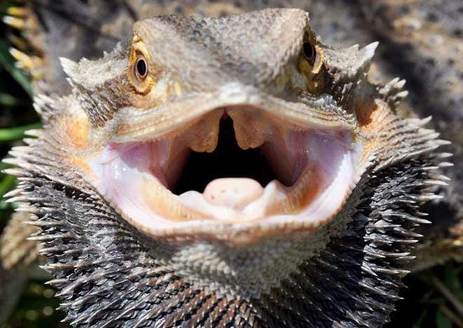 Bearded-Dragon-Threatened