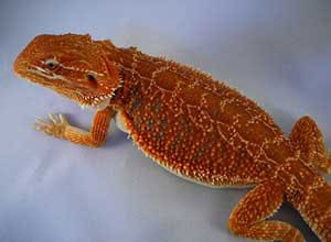 Blood-Red-Bearded-Dragon