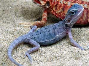 Blue-bearded-dragon