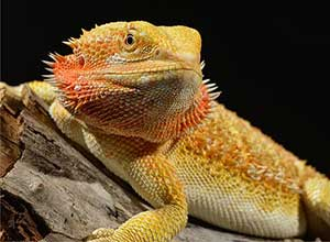 Citrus-Bearded-Dragon