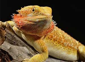 Citrus-Bearded-Dragon