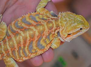 Citrus-Tiger-Bearded-Dragon