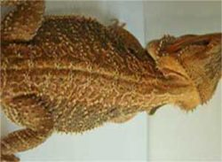 Classic-Standard-Bearded-Dragon