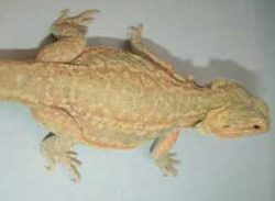 Dunner-Bearded-Dragon