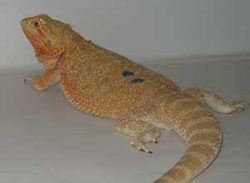 German-Giant-Bearded-Dragon