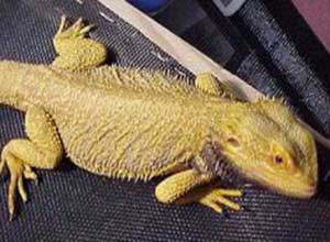 Gold-Bearded-Dragon