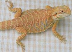 Hypomelanistic-Bearded-Dragon