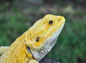 Lemon-Fire-Bearded-Dragon