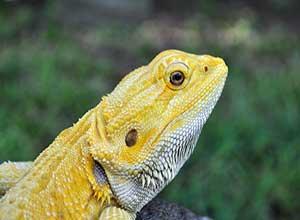 Lemon-Fire-Bearded-Dragon