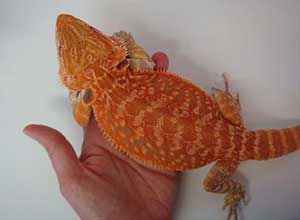 Orange-Bearded-Dragon