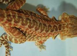 Other-Patterns-Bearded-Dragon