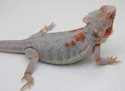 Paradox-Bearded-Dragon
