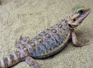 Purple-bearded-dragons